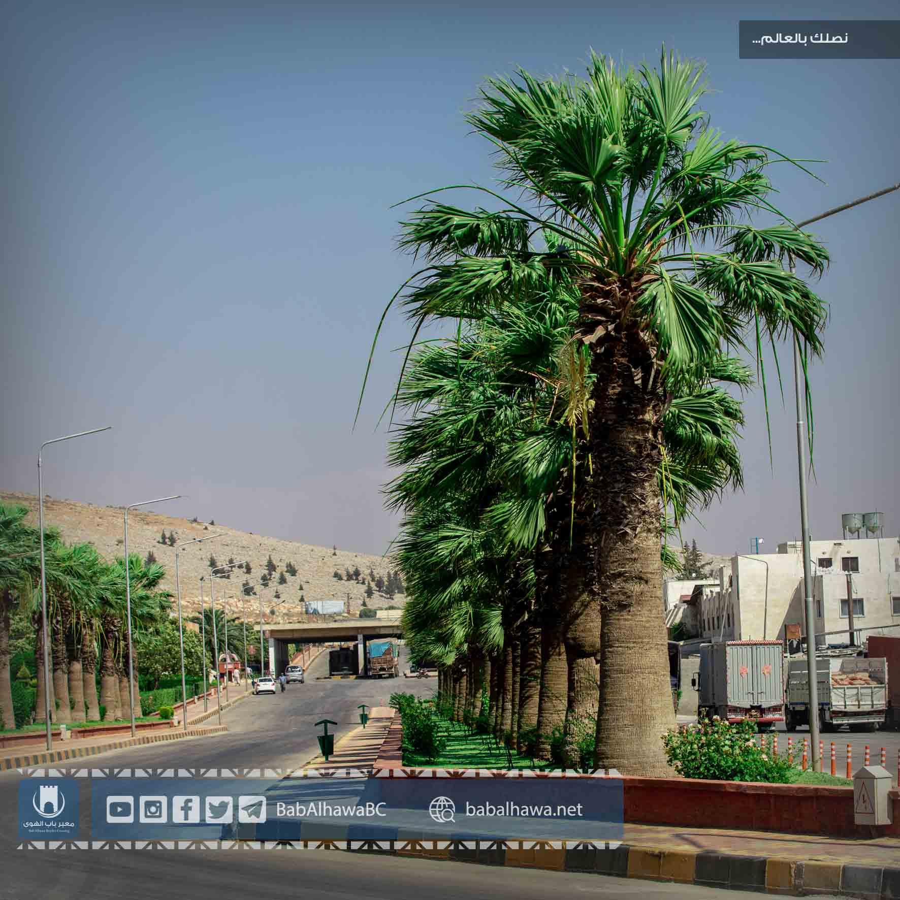 أشجار النخيل في معبر باب الهوى - سوريا